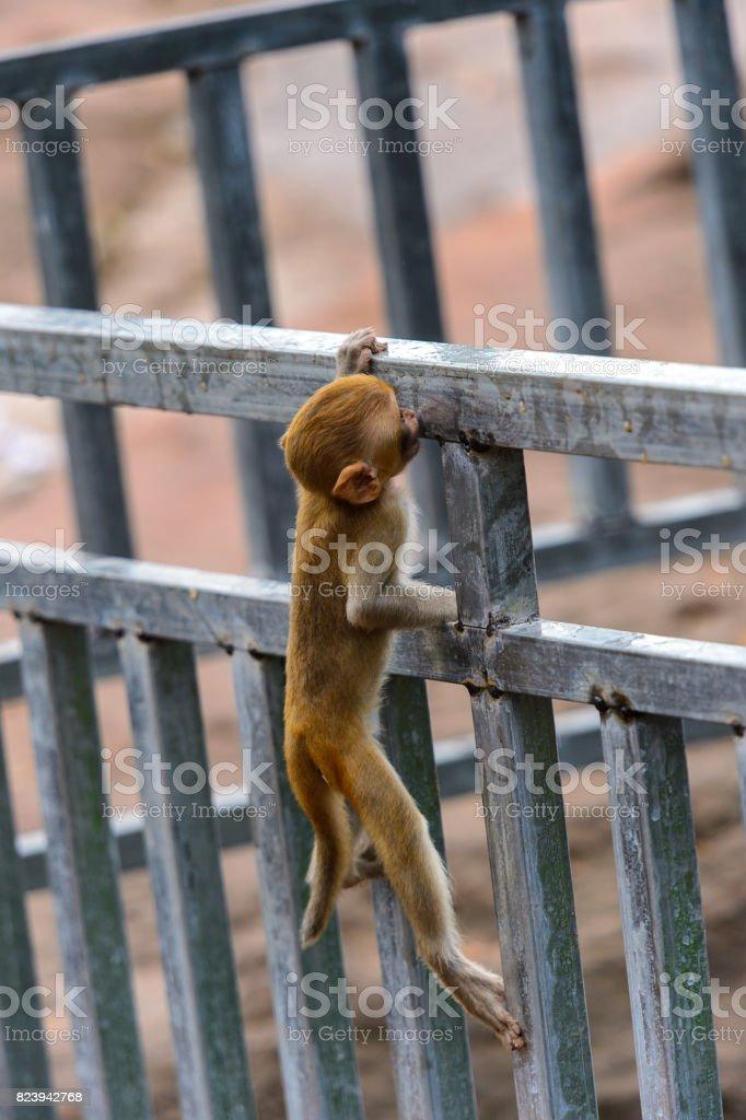 Burmese monkey in Myanmar stock photo