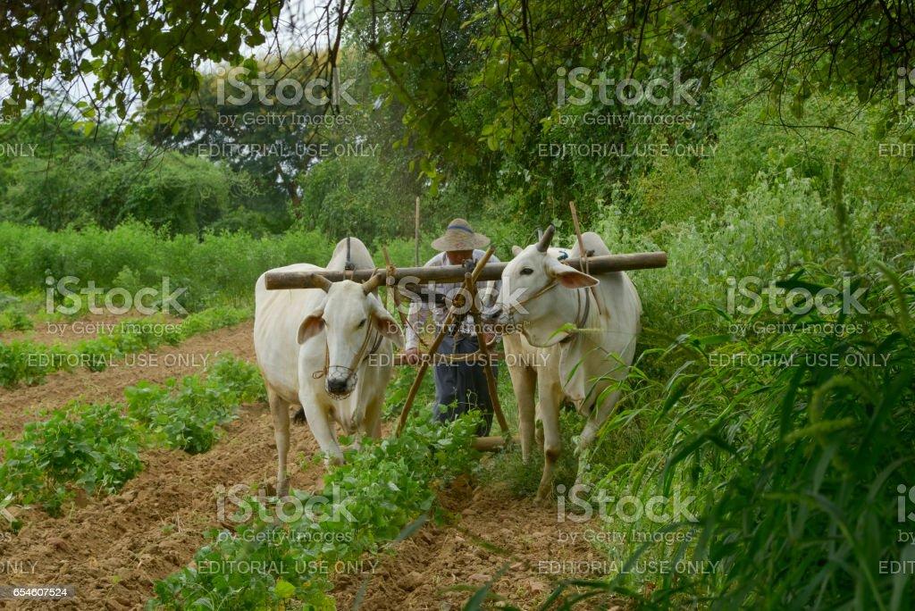 Burmese peasant stock photo