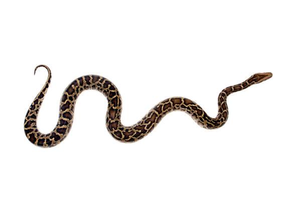 python birman sur fond blanc - serpent photos et images de collection