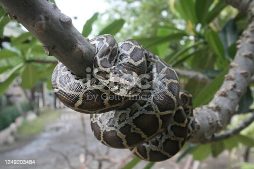 A close-up view of a Burmese python on a tree branch.
