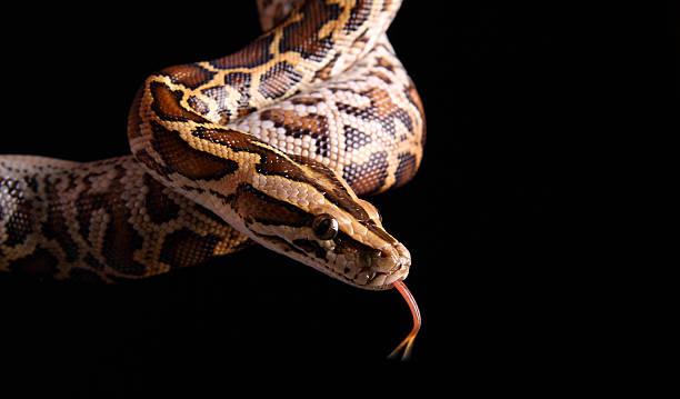 python de birmanie - serpent photos et images de collection