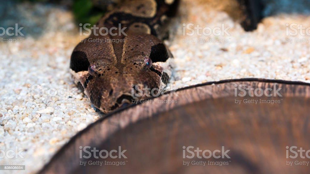 Burmese Python stock photo