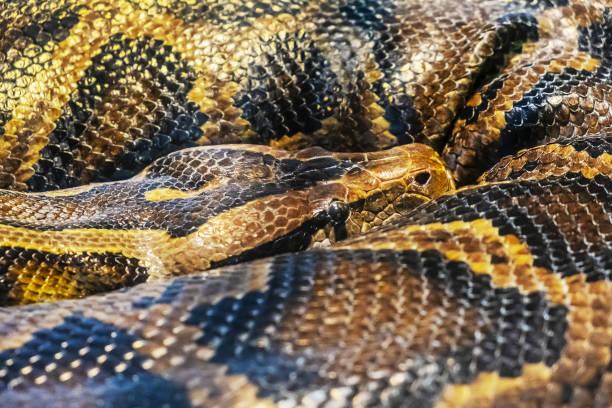 Burmese Python-Python molurus bivittatus – Foto