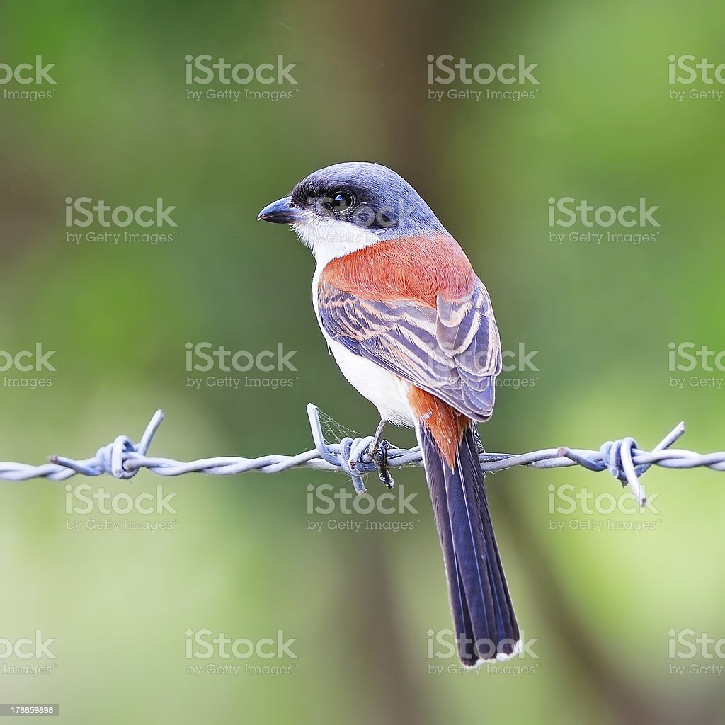 Burmese Shrike royalty-free stock photo