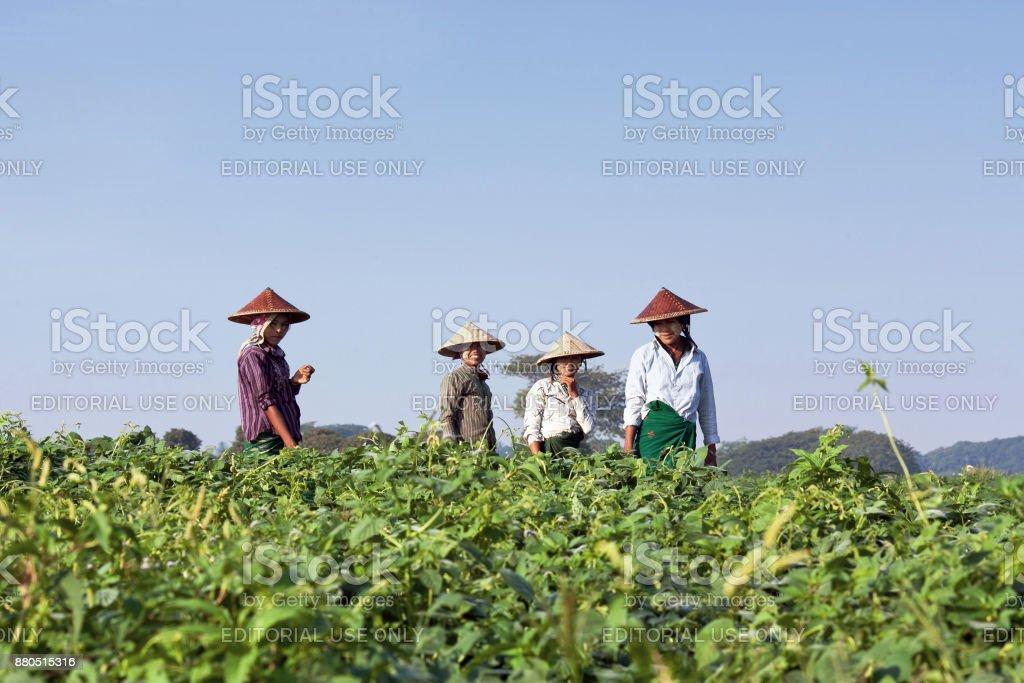 Burmese women working in fields stock photo