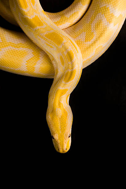 Burmese Yellow Python, Isolated on Black stock photo