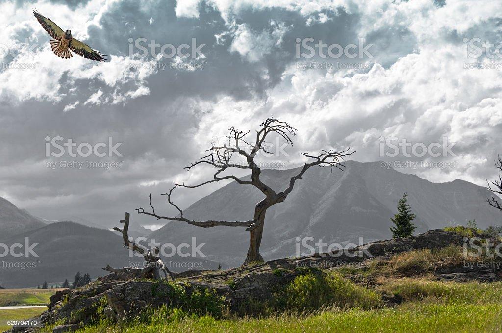 Burmis Tree at Crowsnest Pass and Swainson's Hawk stock photo