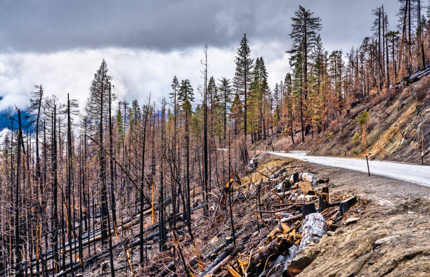 Burned down forest in Yosemite National Park, California stock photo