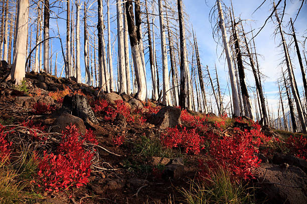 Burned forest stock photo