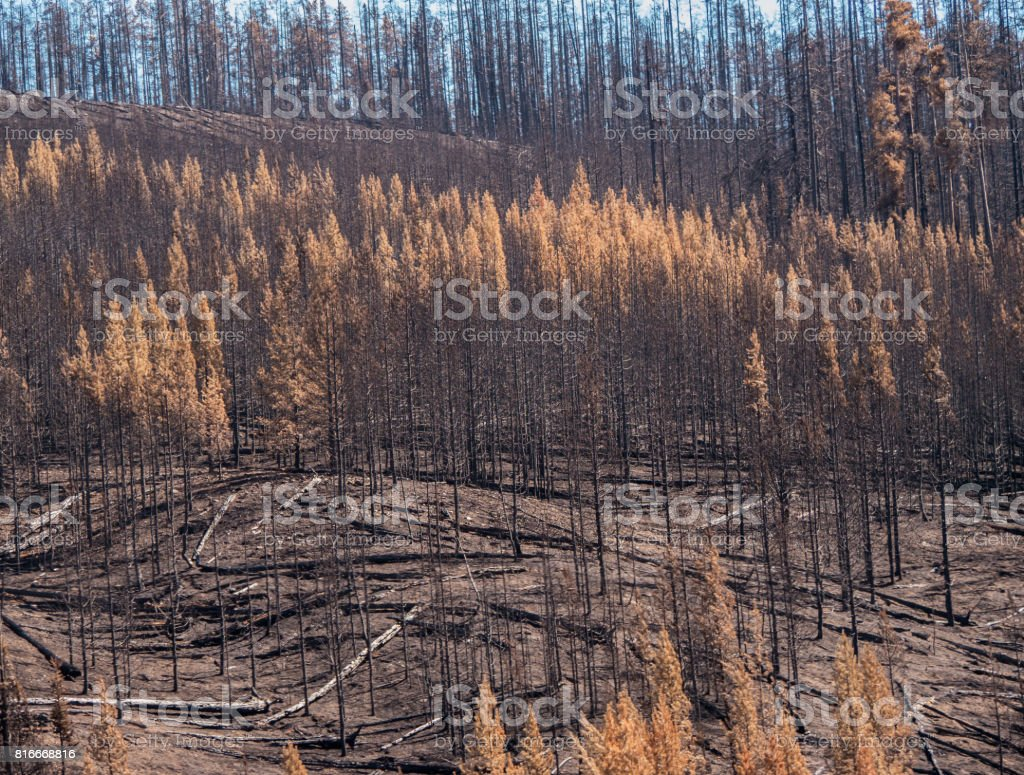 Burned trees after large forest fire. Some dead foliage remaining. stock photo