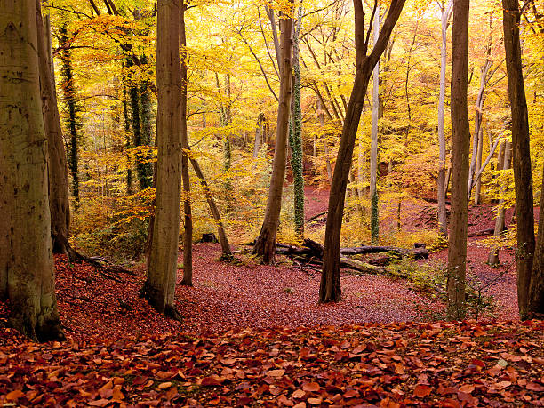 Burnham Beeches, UK Beech trees and a carpet of leaves in full autumn colour in Burnham Beeches in Buckinghamshire, UK. Burnham Beeches is located in Buckinghamshire to the west of London.  It combines the role of being scenic green spaces, with providing internationally important wildlife habitats. Burnham Beeches is the Site of Special Scientific Interest and is additionally a National Nature Reserve and a Special Area of Conservation. buckinghamshire stock pictures, royalty-free photos & images