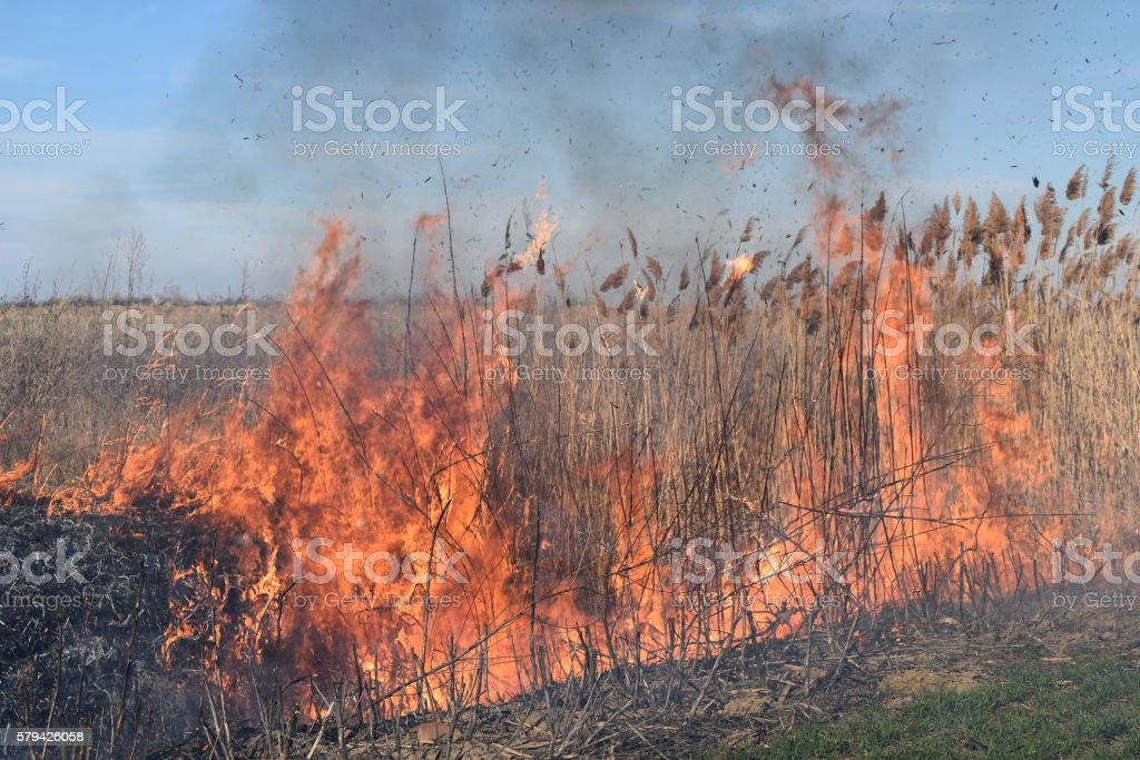 Burning dry grass and reeds stock photo