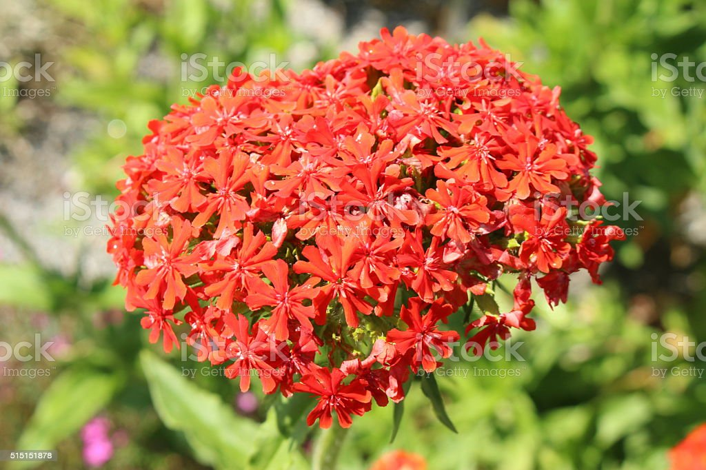 'Burning Love' flower - Lychnis Chalcedonica stock photo