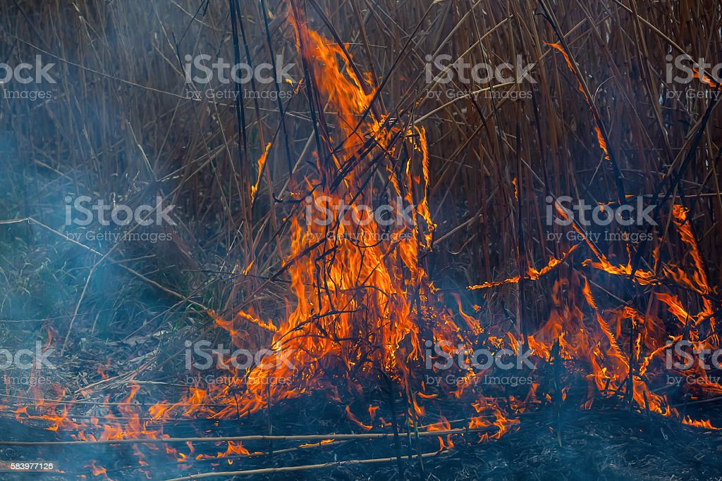 Burning of dry reeds on the lake. stock photo
