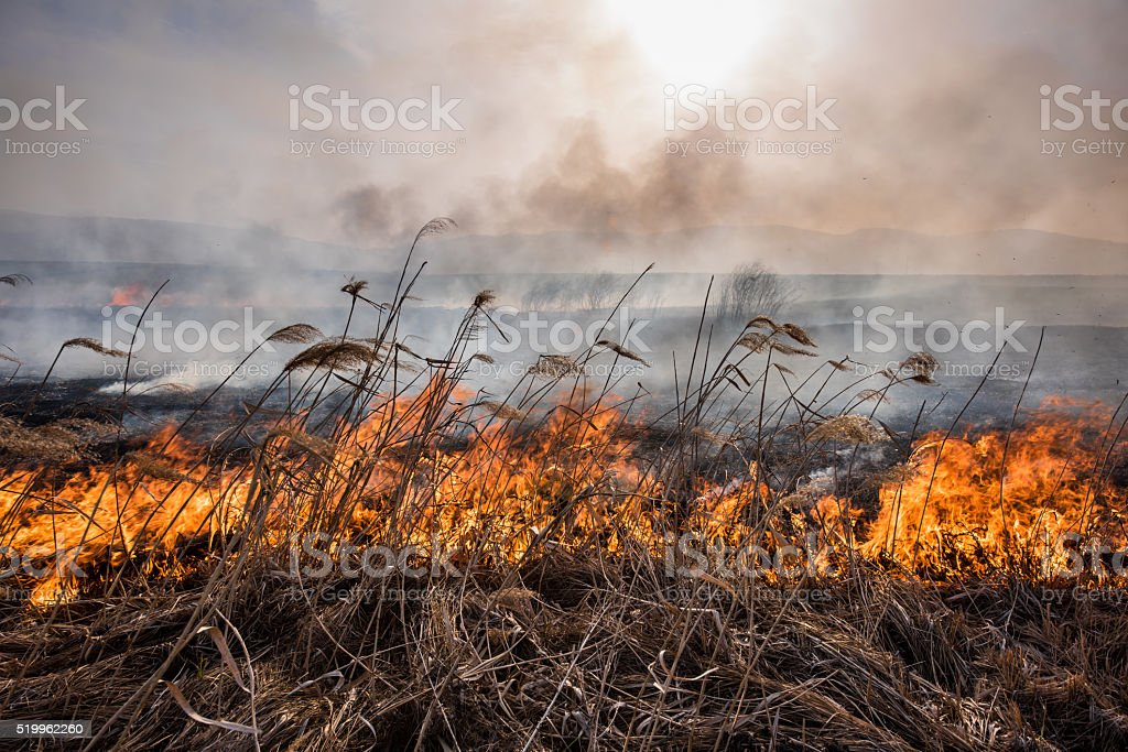 Burning reeds at sunset. stock photo