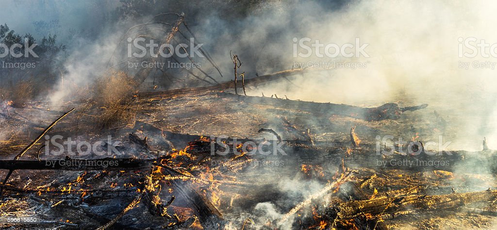Burning trees in the forest stock photo