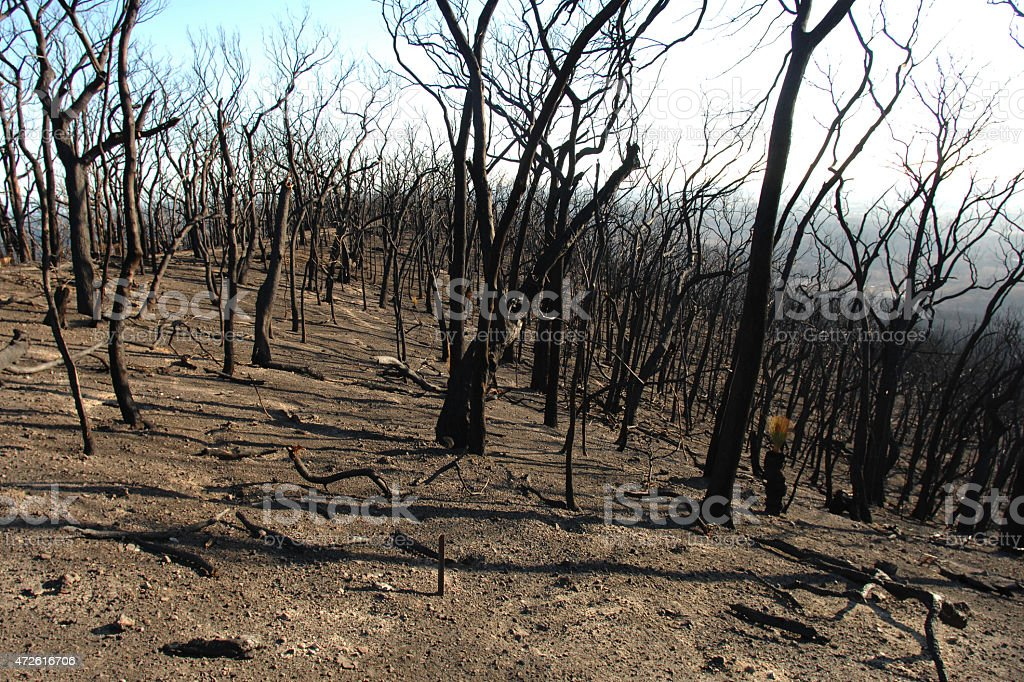 Burnt forest after 2009 Kinglake bushfire stock photo