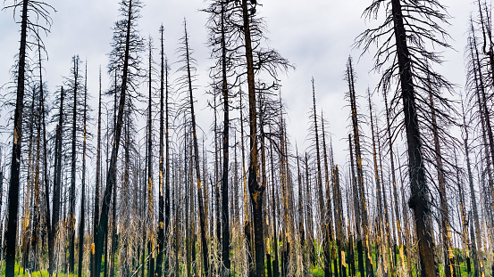 Burnt forest as result of the 2018 Ferguson wildfire in Yosemite National Park,  Sierra Nevada Mountains, California; this is becoming a common site in many of the parks across the west of the US