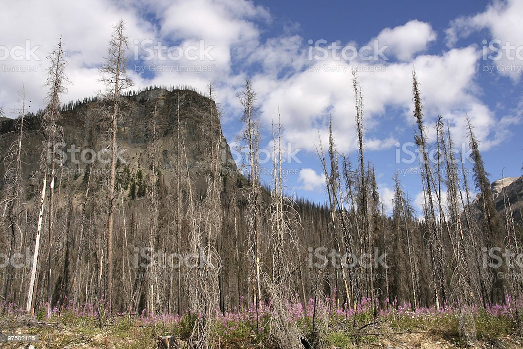 Burnt forest royalty-free stock photo