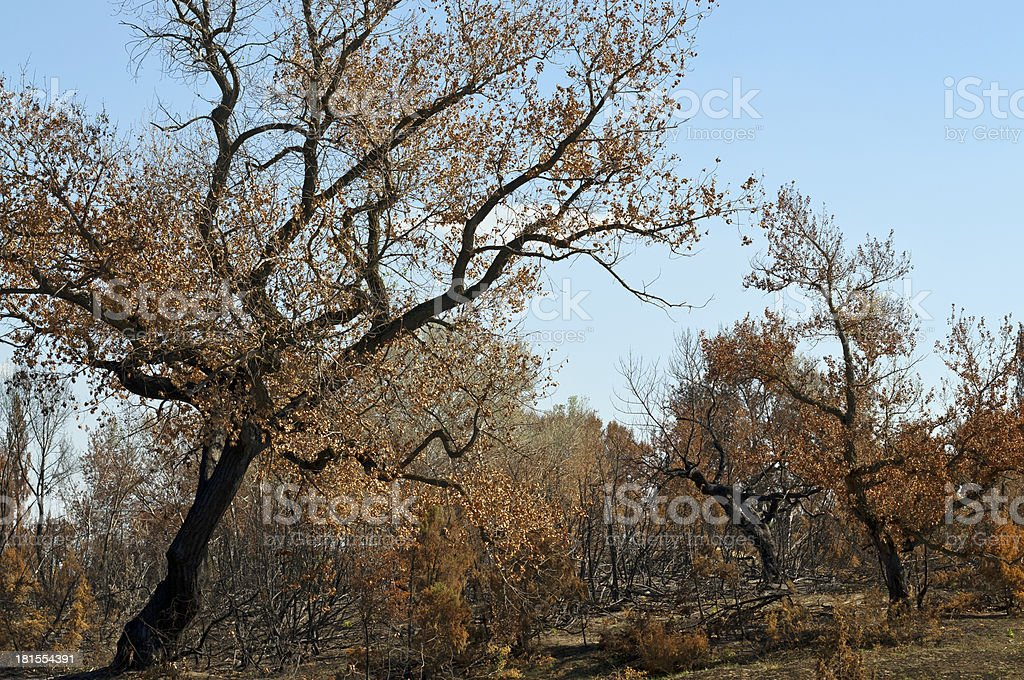 Burnt forest trees royalty-free stock photo