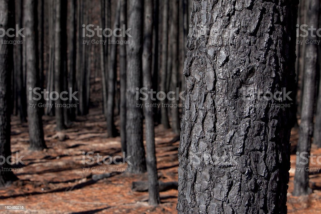 Burnt out plantation pine forest in rural Victoria, Australia royalty-free stock photo