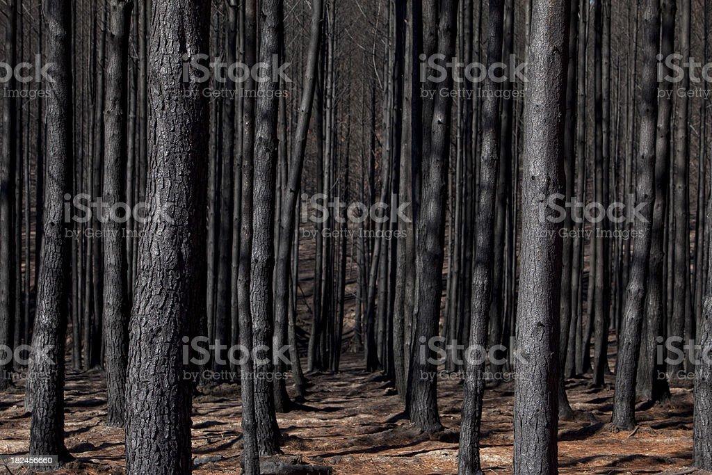 Burnt out plantation bosque de pinos foto de stock libre de derechos