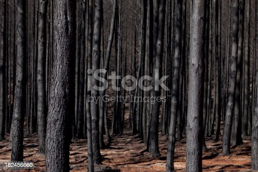 Burnt out plantation pine forest