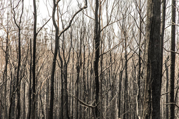 Burnt out trees after forest fire stock photo