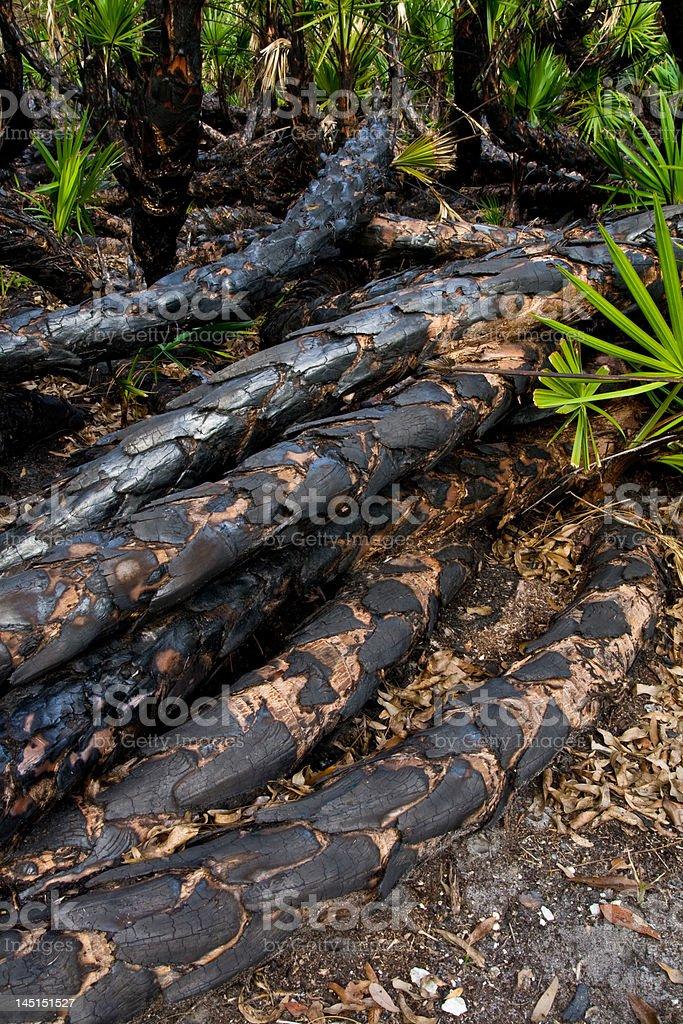 Burnt Palmettto Trunks royalty-free stock photo