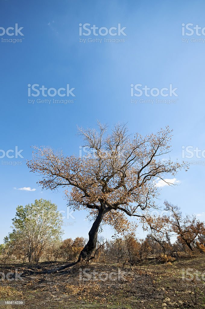 Burnt tree royalty-free stock photo