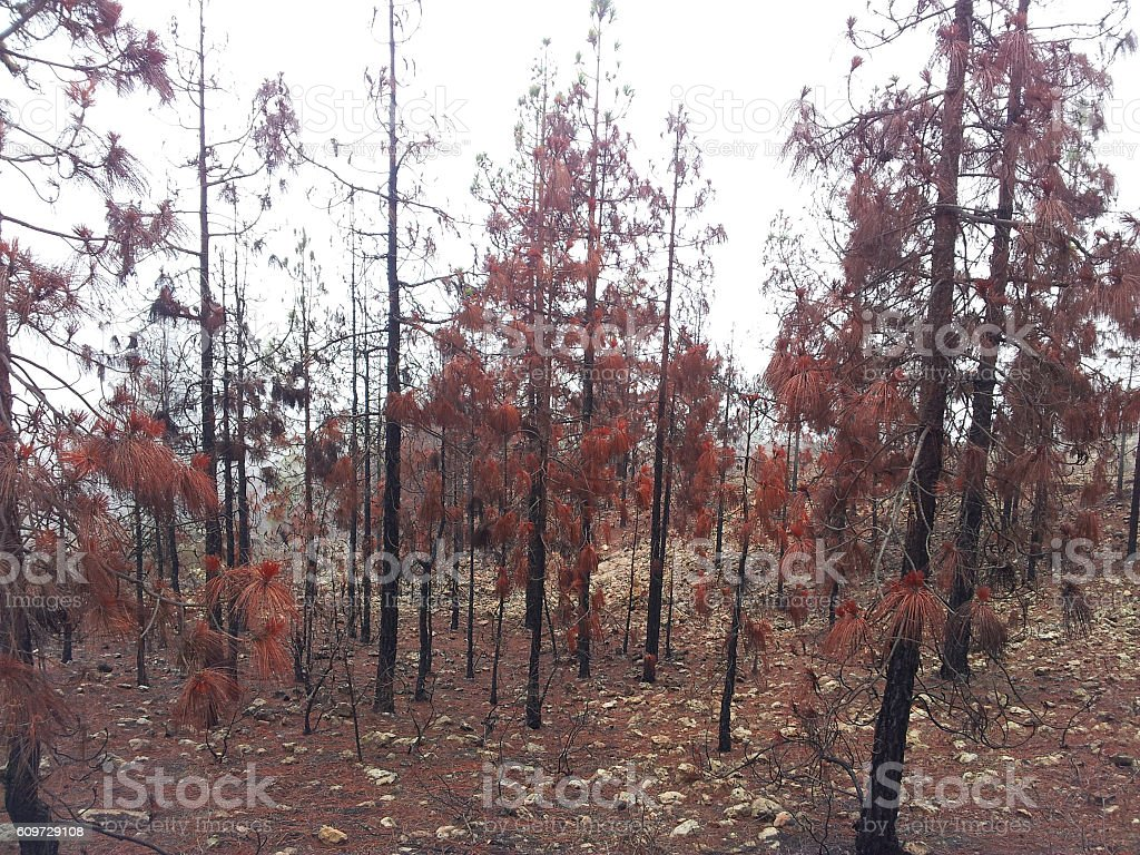 Burnt trees after a forest fire at mountain,Spain stock photo