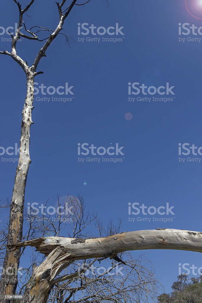 Burnt trees after a forest fire royalty-free stock photo