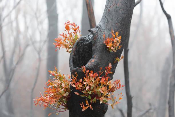verbrande bomen regenereren na bosbranden met nieuwe bladeren - herbebossing stockfoto's en -beelden