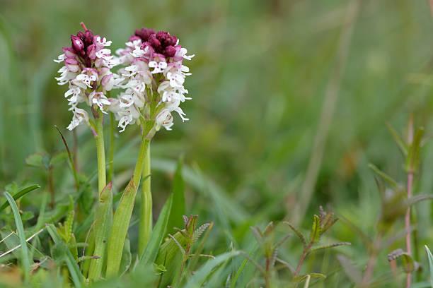 burnt-tipp orchid (orchis ustulata) mit blumen - seltene pflanzen stock-fotos und bilder
