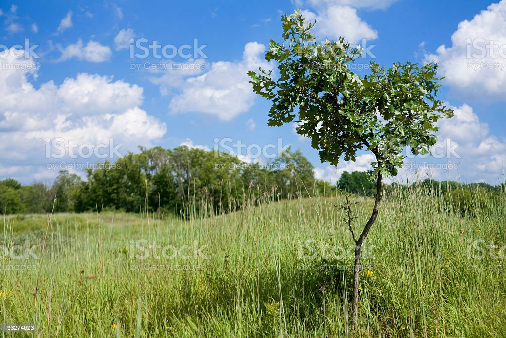Burr Oak stock photo