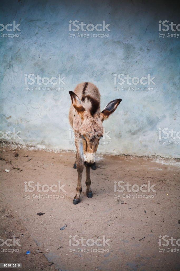 驢 africano 在草原上 - 免版稅充電圖庫照片