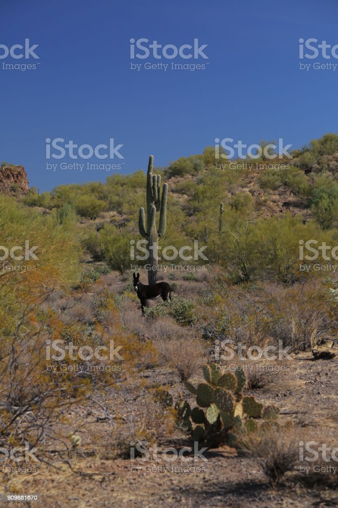 burro e cacto - foto de acervo