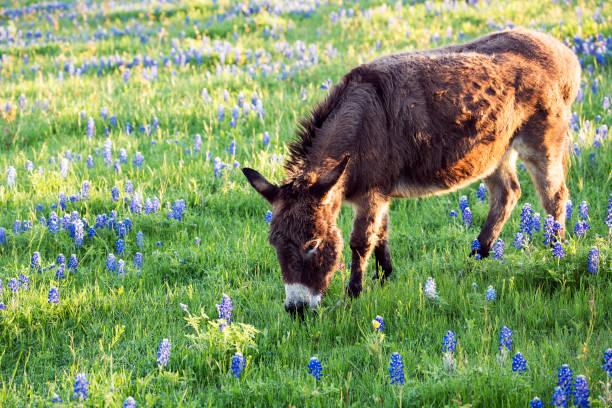 Burro Grazing in a Bluebonnet Filled Meadow stock photo