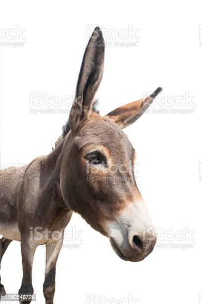 Photo of burro portrait isolated on white
