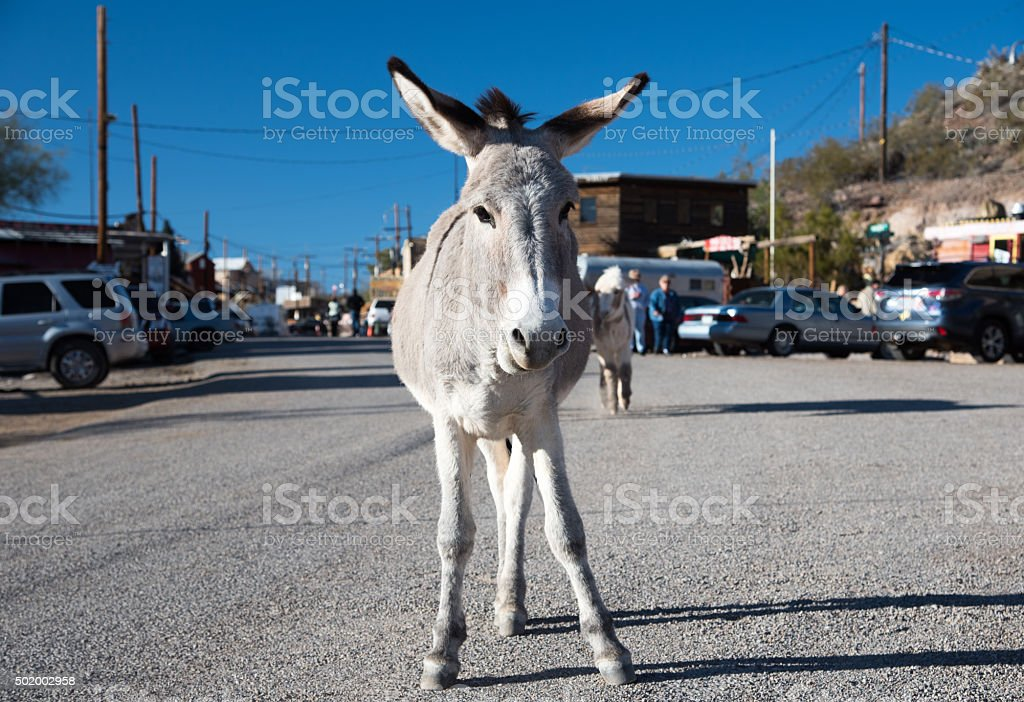 Burro standing at Oatman Ghost town stock photo
