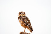 istock Burrowing Owl against white background. 898970686