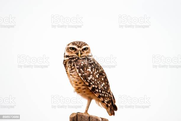 Burrowing owl against white background picture id898970686?b=1&k=6&m=898970686&s=612x612&h=0reb97lausxg2qoermbwhrk6pm 8mjua8i z7poyteo=