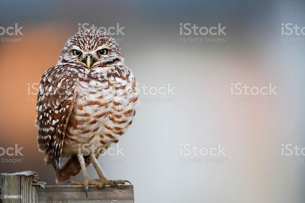 Burrowing owl (Athene cunicularia floridana), Cape Coral, Florida, USA stock photo