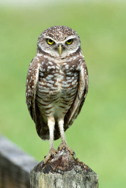 Burrowing owl close up on wood fence picture id1157020700?b=1&k=6&m=1157020700&s=612x612&w=0&h=5d2dldxcrhmoorpu8efpolktylvzxbvgmnul5q16pjq=
