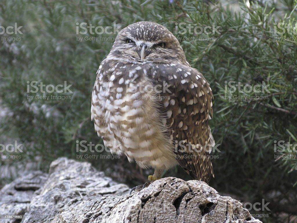 Burrowing Owl Close Up royalty-free stock photo