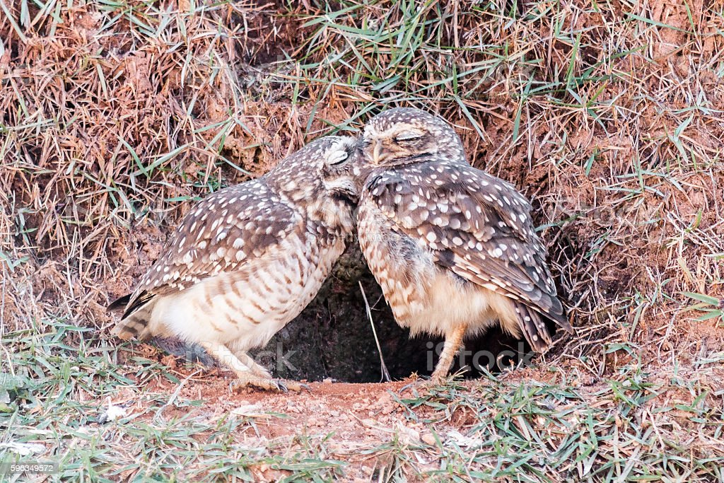 Burrowing owl couple royalty-free stock photo