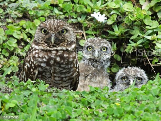 Burrowing owl family in its burrow picture id1141770553?b=1&k=6&m=1141770553&s=612x612&h= z4ejz0sjpoqztkztp 3rkpaakg53us1mxuthjogzbk=