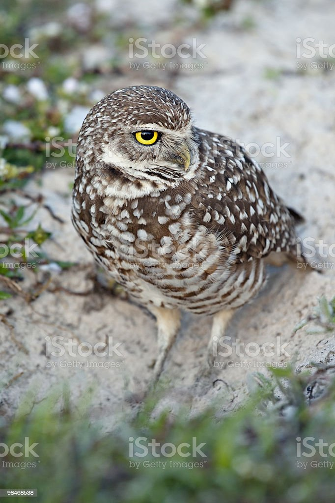 Burrowing Owl in sand royalty-free stock photo