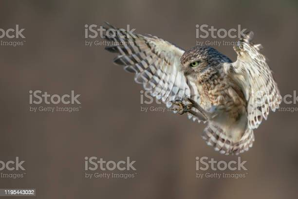 Burrowing owl is getting ready to land noord brabant in the with picture id1195443032?b=1&k=6&m=1195443032&s=612x612&h=bl71kxgj1xy9rdgvaey76e q2e9 rjgyrktmnbfmaws=