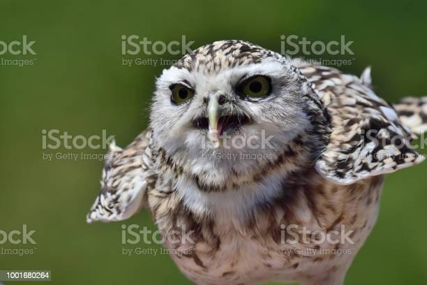 Burrowing owl picture id1001680264?b=1&k=6&m=1001680264&s=612x612&h=zcu9tf8hkpz4retiqogtq44fsbgfn1nsfjfwxk15yqk=